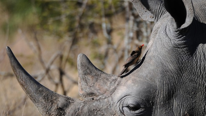 Studienreisen: Die letzten Nashörner sehen im Kruger-Nationalpark, dann noch Johannesburg und Kapstadt besuchen - die typische Südafrika-Reise.