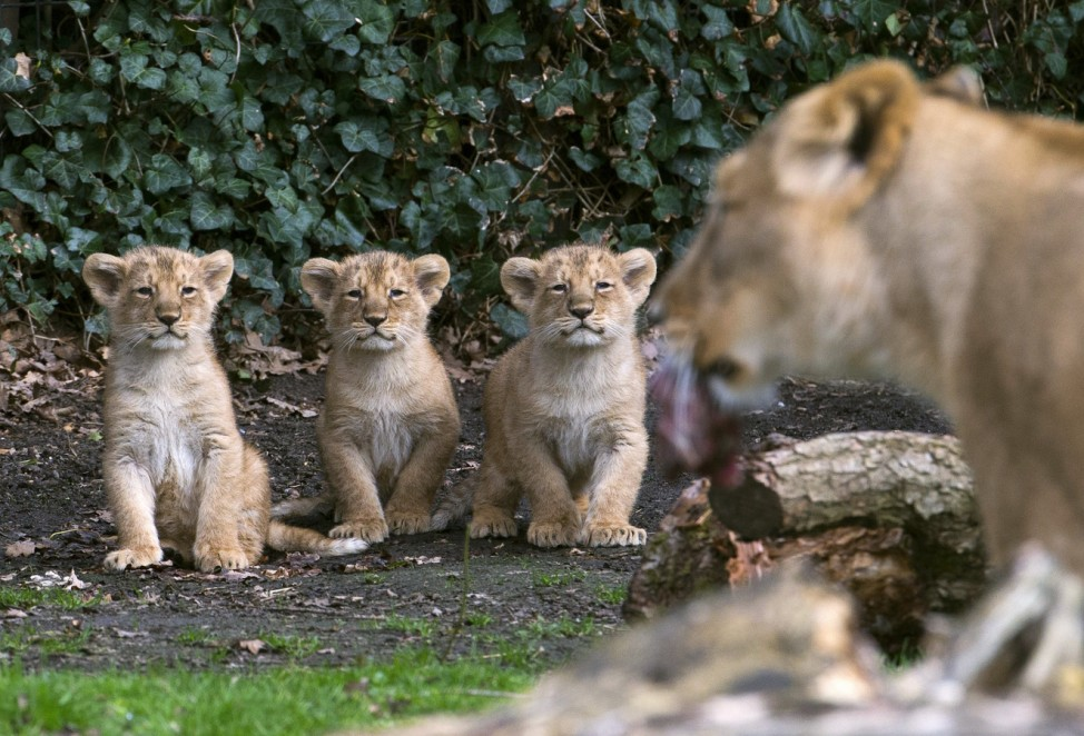 Three Asian lion cubs stand next to their mother Lorena while being presented to the public at the Planckendael Park in Mechelen