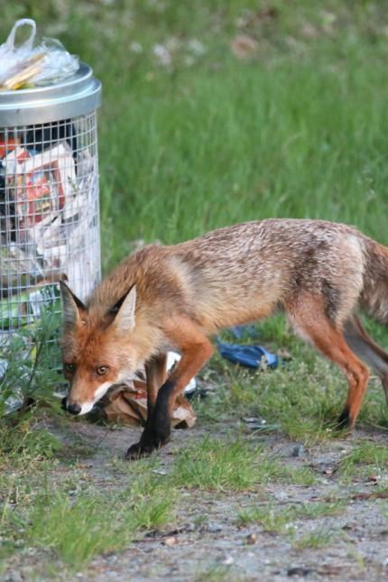 Fuchs sucht Nahrung in Abfalltonnen