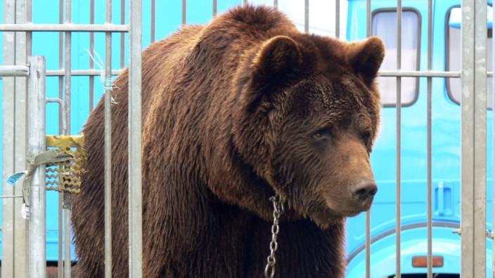 Gericht:Braunbär Ben kehrt nicht in Zirkus zurück