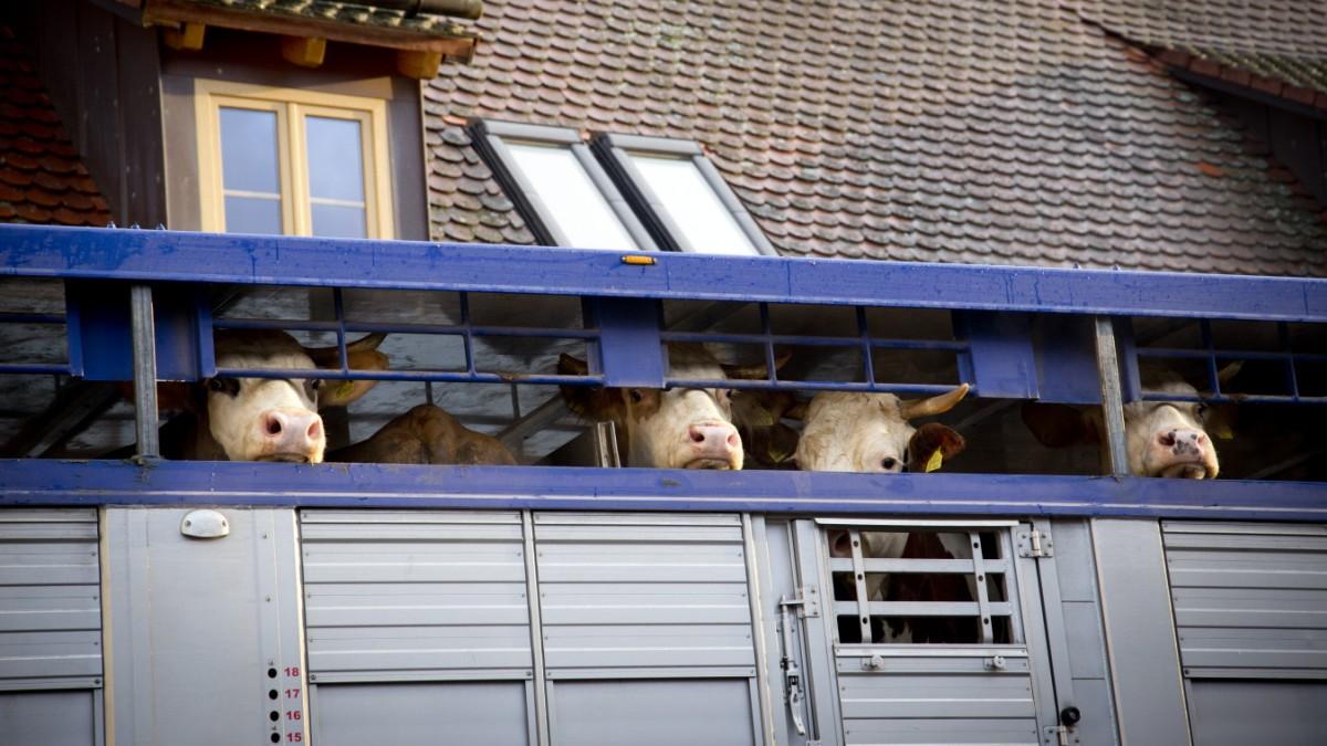 Miesbach nach Ungarn: Gericht erlaubt Rinder-Export