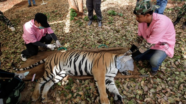 Wildlife Officials Raid Controversial Tiger Temple In Thailand