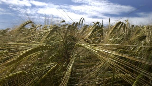 Landwirtschaft: Hier wird seit zwei Jahren Brau-oder Sommergerste angebaut, um herauszufinden, wie viel Stickstoffdünger die Gerste haben sollte - oder haben darf.
