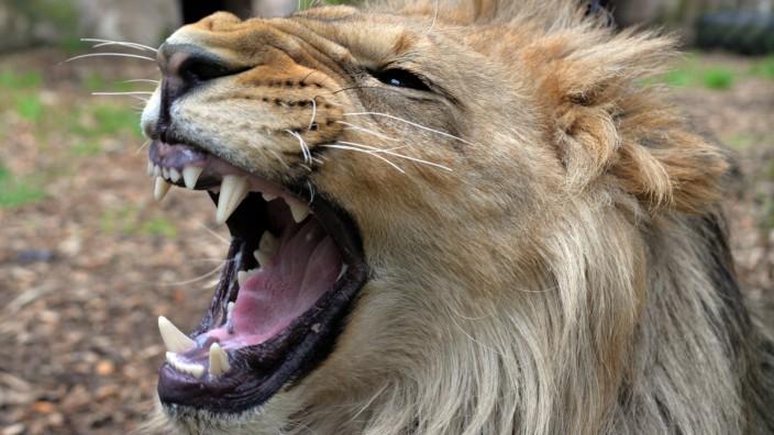 Happy End unter Löwen