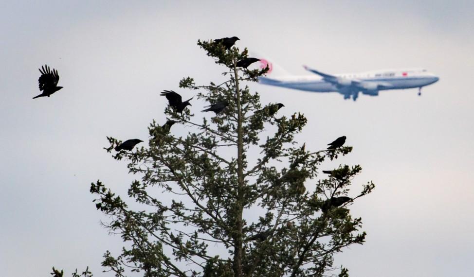 Jumbo hinter dem Krähenbaum