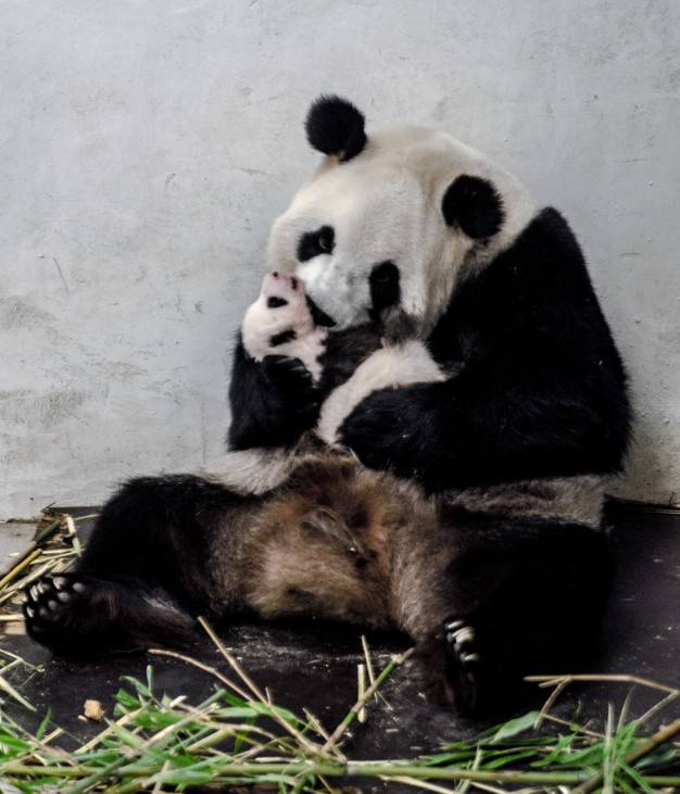 A baby panda is pictured at the Pairi Daiza wildlife park in Brugelette