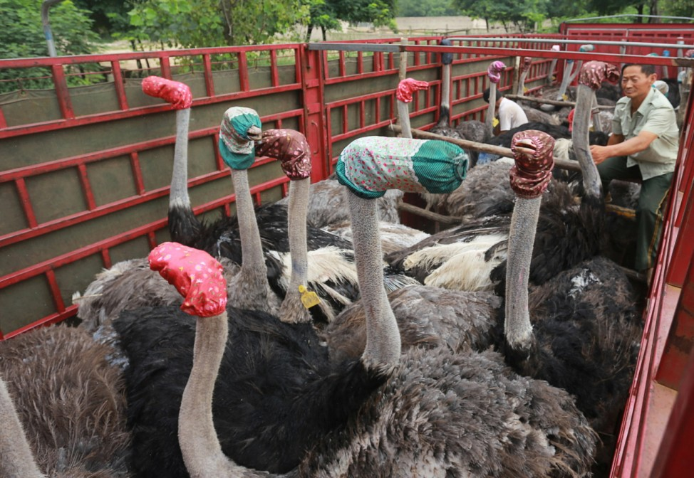 Ostriches wear masks as they are transported by a truck for relocation in Zhengzhou