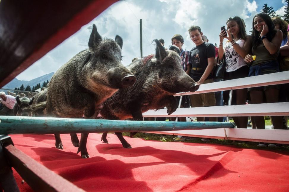 Pig race in Switzerland