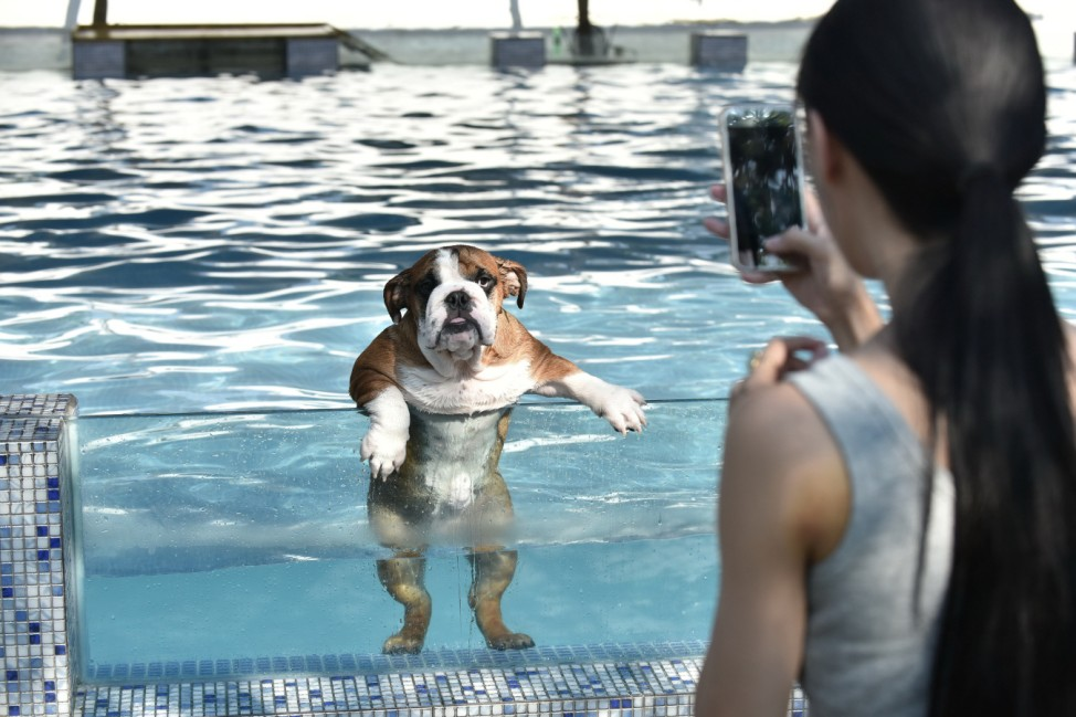 An owner takes a picture of her dog as it climbs up on a glass panel while swimming at a pool for dogs in Chengdu, Sichuan Province