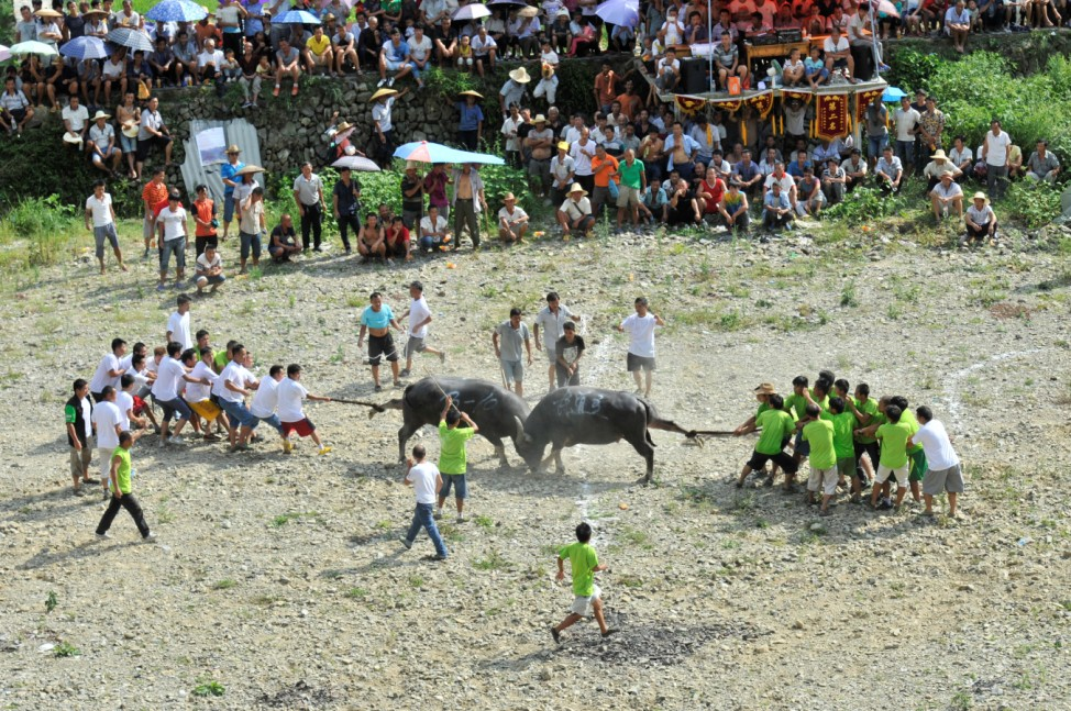People pull way water buffaloes fighting with each other during a local celebration in Kaili