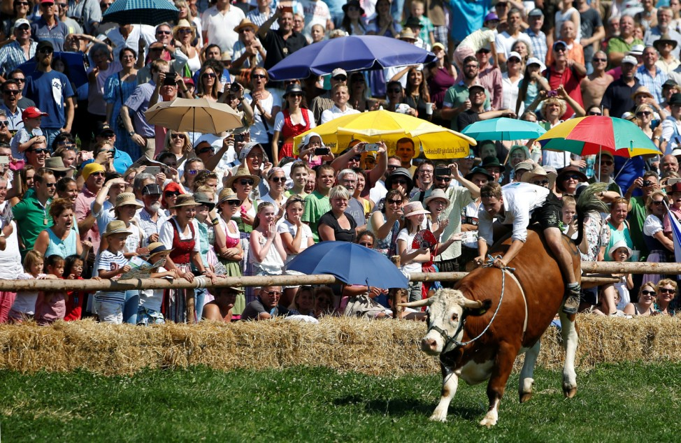 Farmer rides on ox during traditional ox race in Muensing