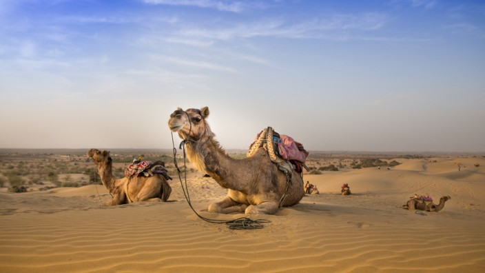 Kamele in der Thar Wüste, Indien
