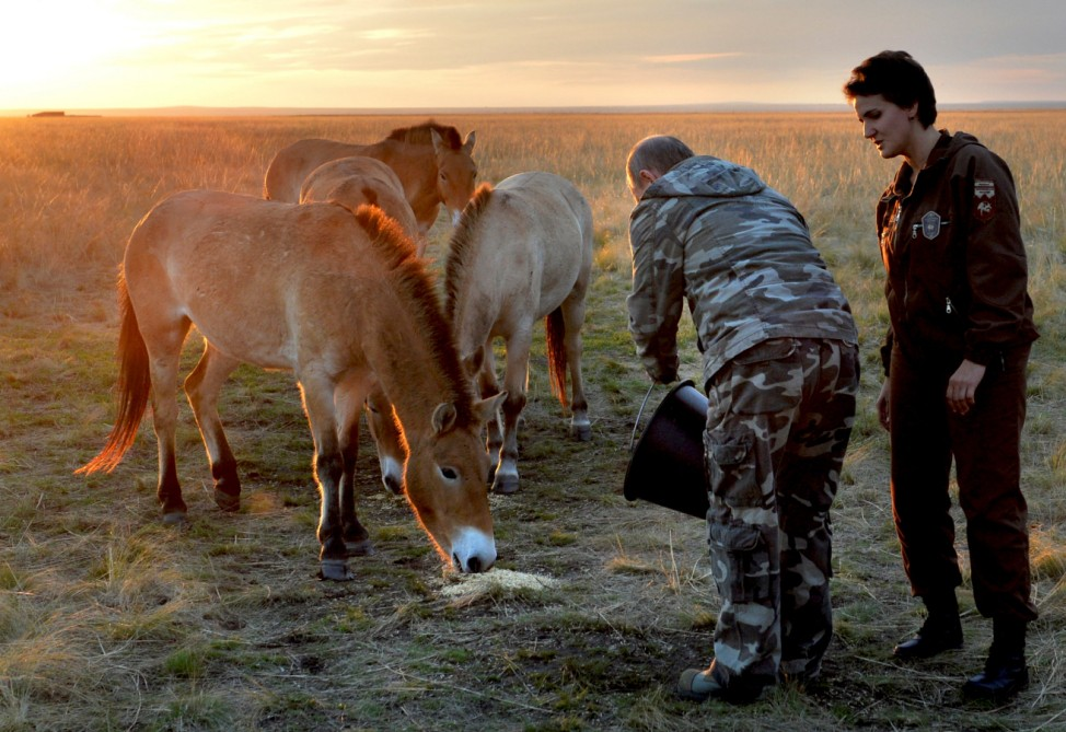 Russian President Vladimir Putin feeds Przewalski's horses in preparation to release them from an acclimation pen at a reserve for wild horses outside Orenburg