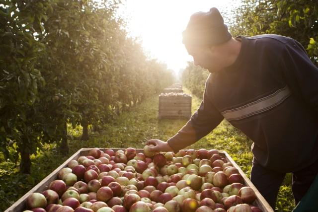 Herbst in Deutschland: Apfelernte Altes Land