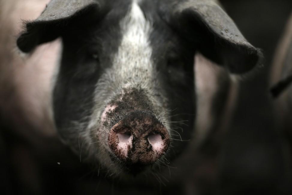 Puchheim: SCHWARZE SAU - artgerecht gehaltenes Schwein im Dreck
