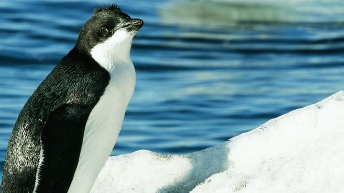 Tierwelt: Adelie-Pinguin in der Antarktis