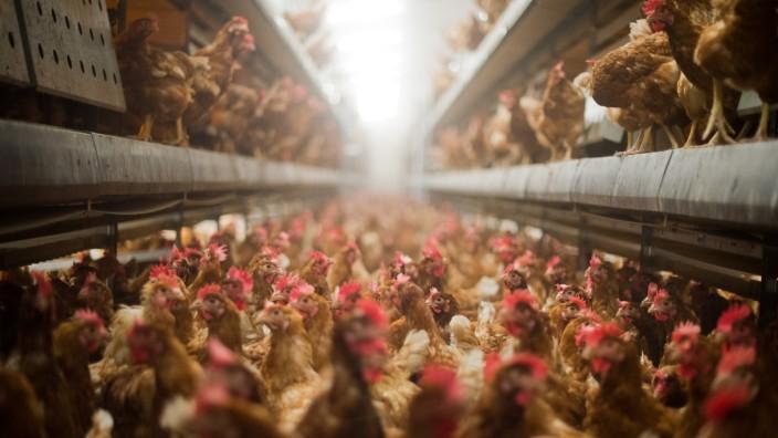 Gefahr durch Vogelgrippe zwingt Federvieh in den Stall