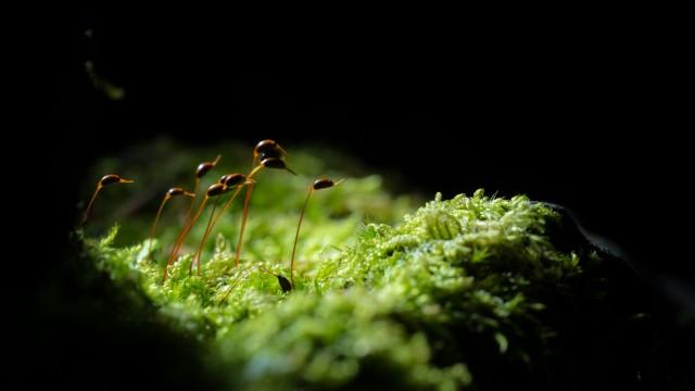 Sporenkapseln auf Moos