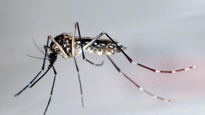 Zika-Virus - Ägyptische Tigermücke