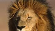 Löwe, dpa