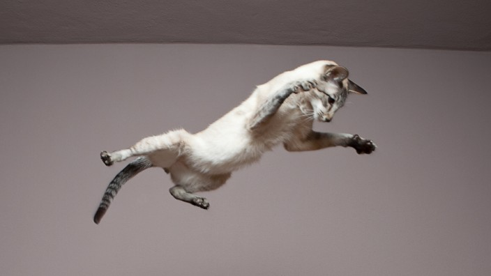 Siamese cat jumping in the air