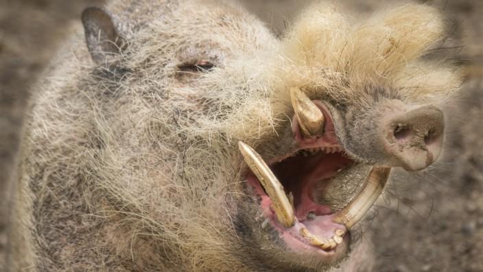 Bartschweineber  Hellabrunn