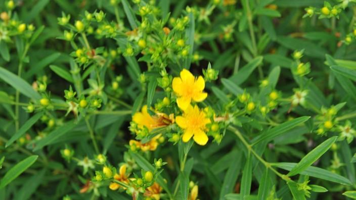Pflanzliche Arzneimittel: Johanniskraut-Präparaten wird eine antidepressive Wirkung nachgesagt.