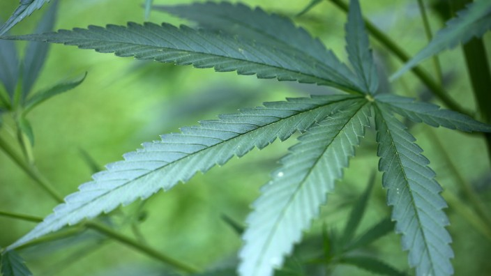Hanf-Pflanzen