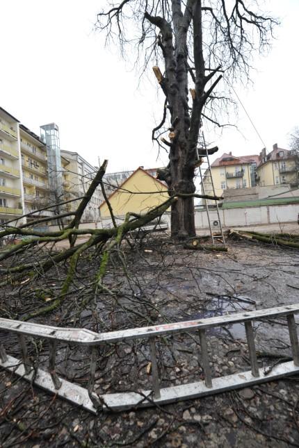 Baumschutz-Initiative: An der Josephstraße stand das Gewächs einem Haus im Weg.
