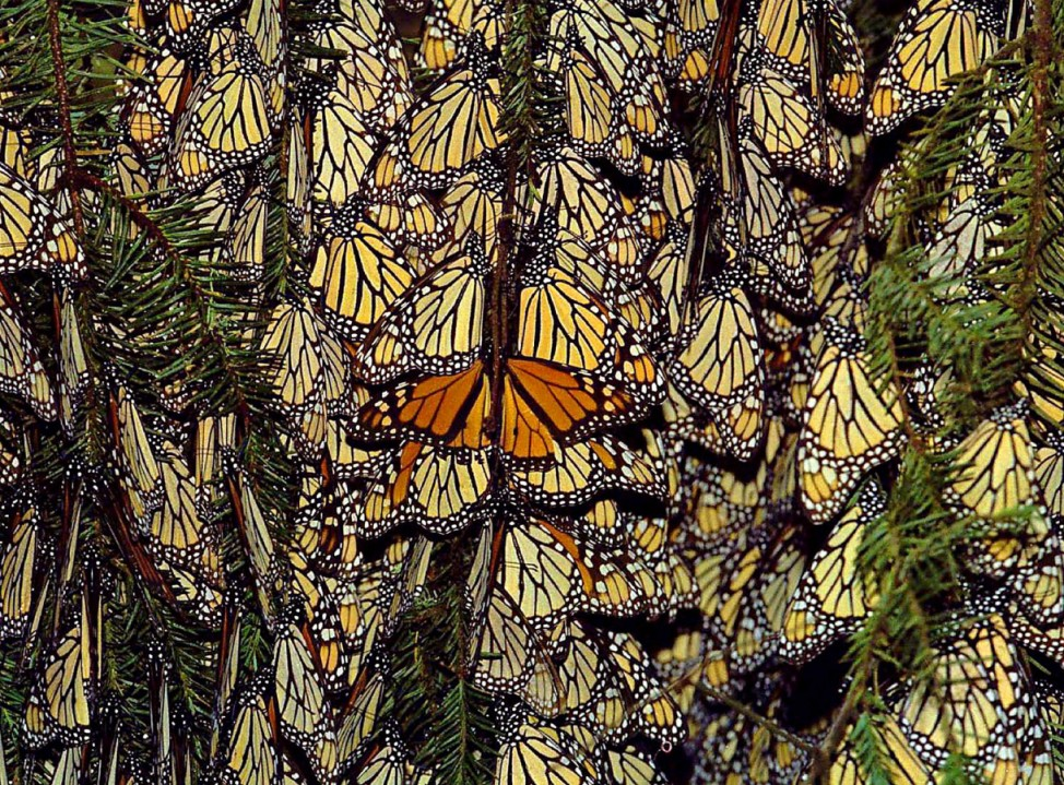 MEXICO-MONARCH BUTTERFLY