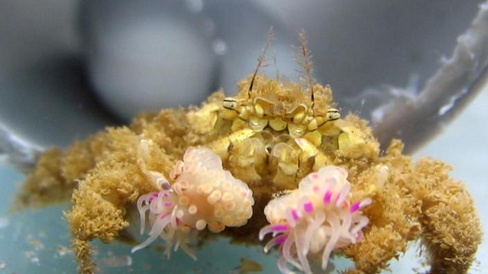 Krabbe mit Anemonen