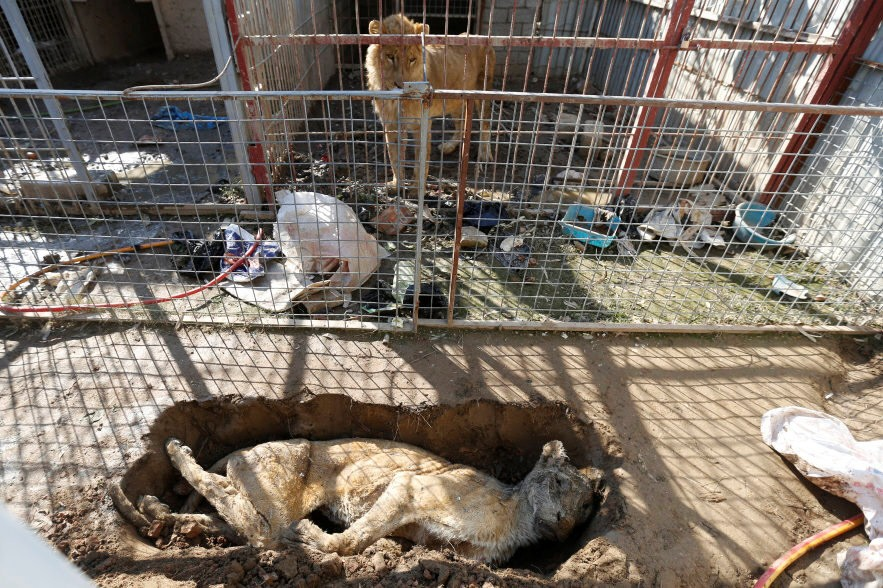 A lion in its cage looks at a dead lioness in a grave at Mosul's zoo, Iraq