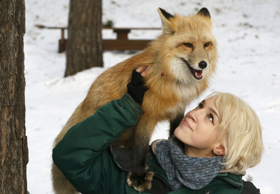 Zoo employee Zapolskaya walks with red fox Ralf during training session which is part of programme of taming wild animals for research and interaction with visitors at Royev Ruchey Zoo in Krasnoyarsk