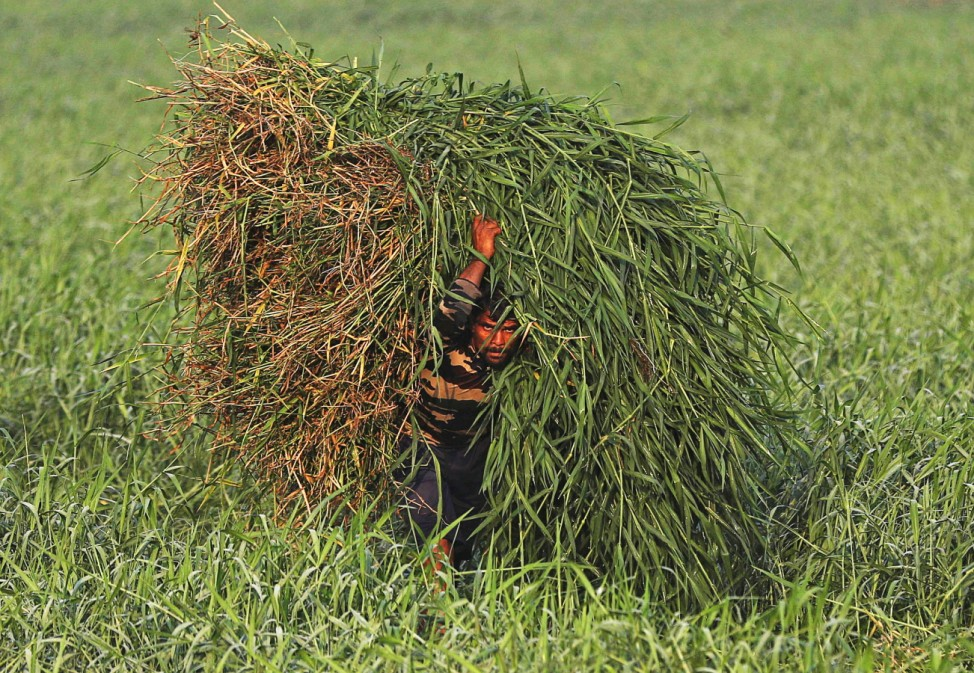A labourer carries bales of grass to feed cattle in Mumbai