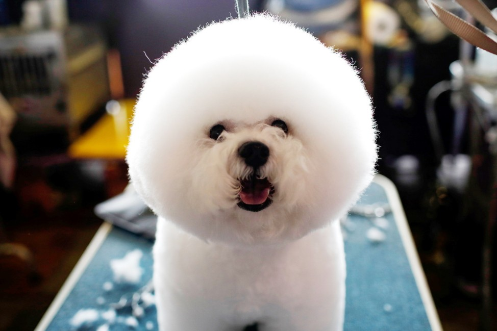 A Bichon Frise stands on a grooming table in the benching area before competition at the 141st Westminster Kennel Club Dog Show in New York