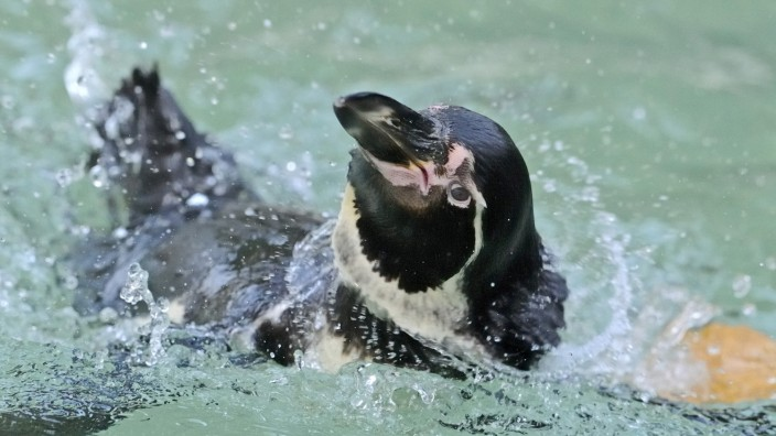 Humboldt-Pinguin im Luisenpark