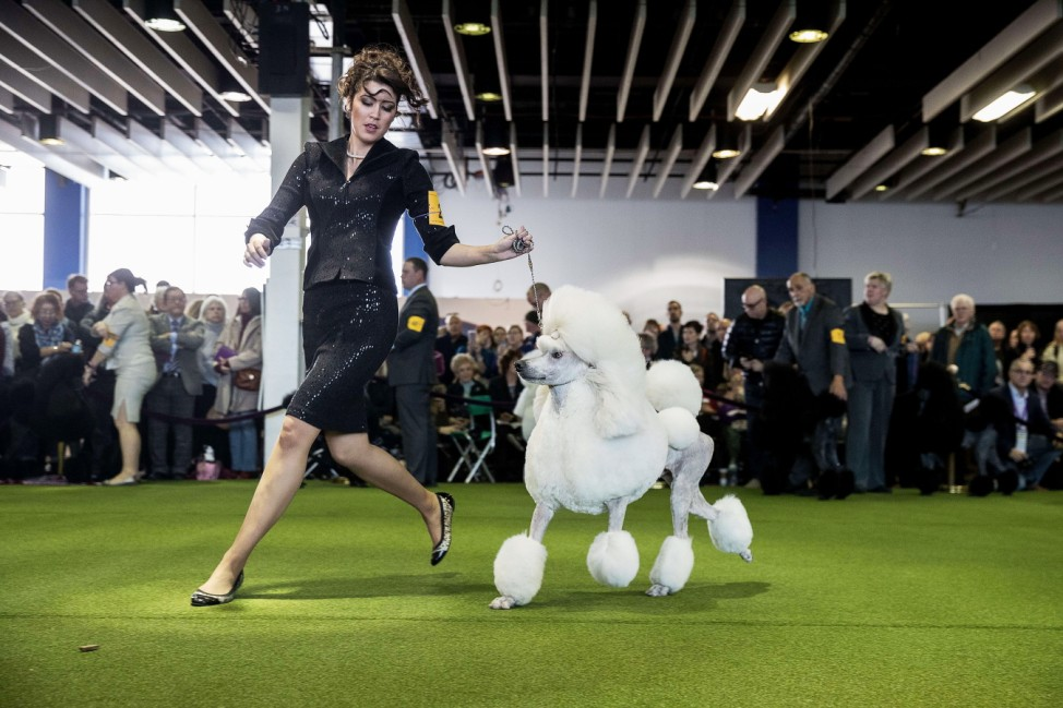 Canine Champions Compete In The Westminster Dog Show