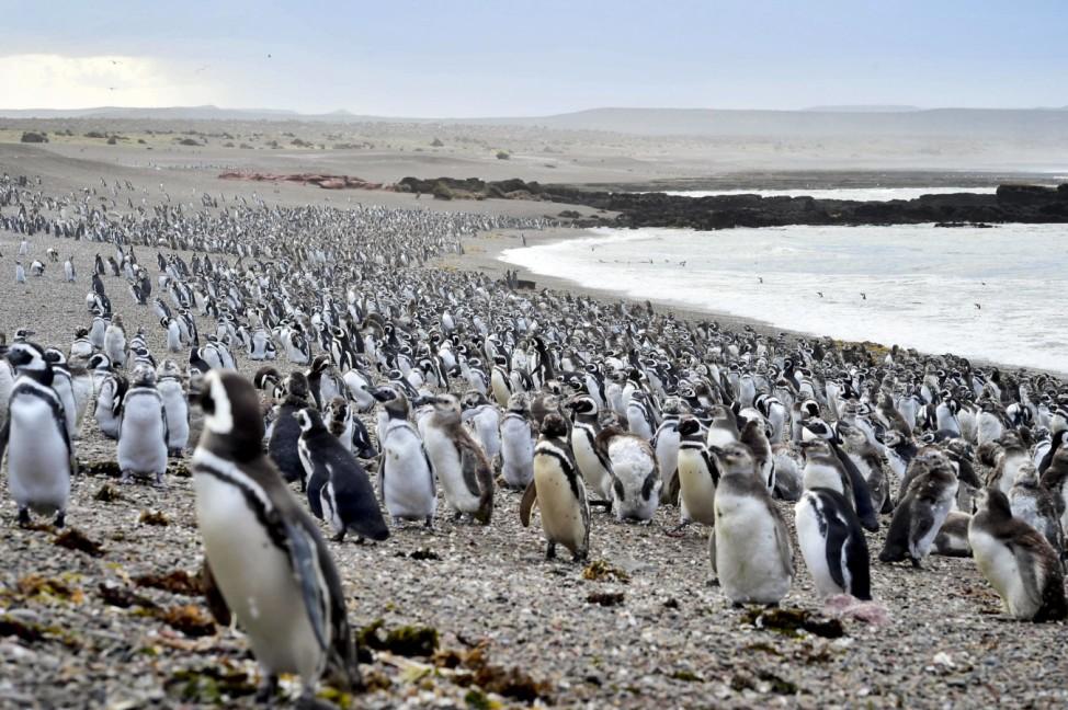 Pinguine in Argentinien