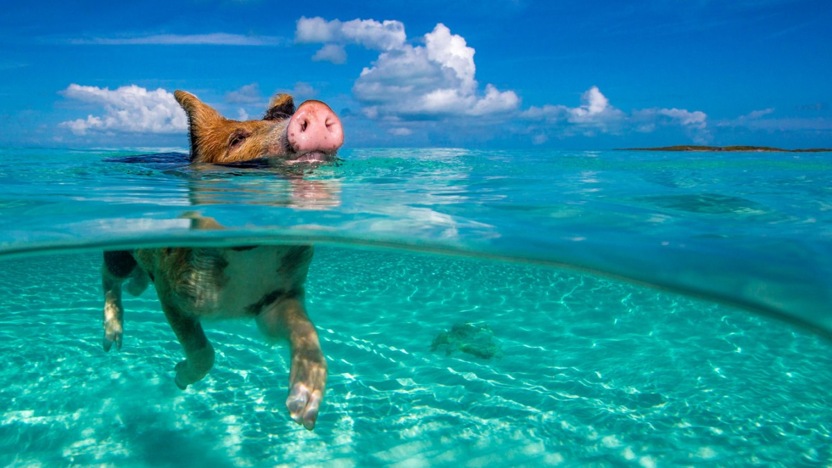 Bahamas Tod Im Schweinchen Paradies Panorama Sz De