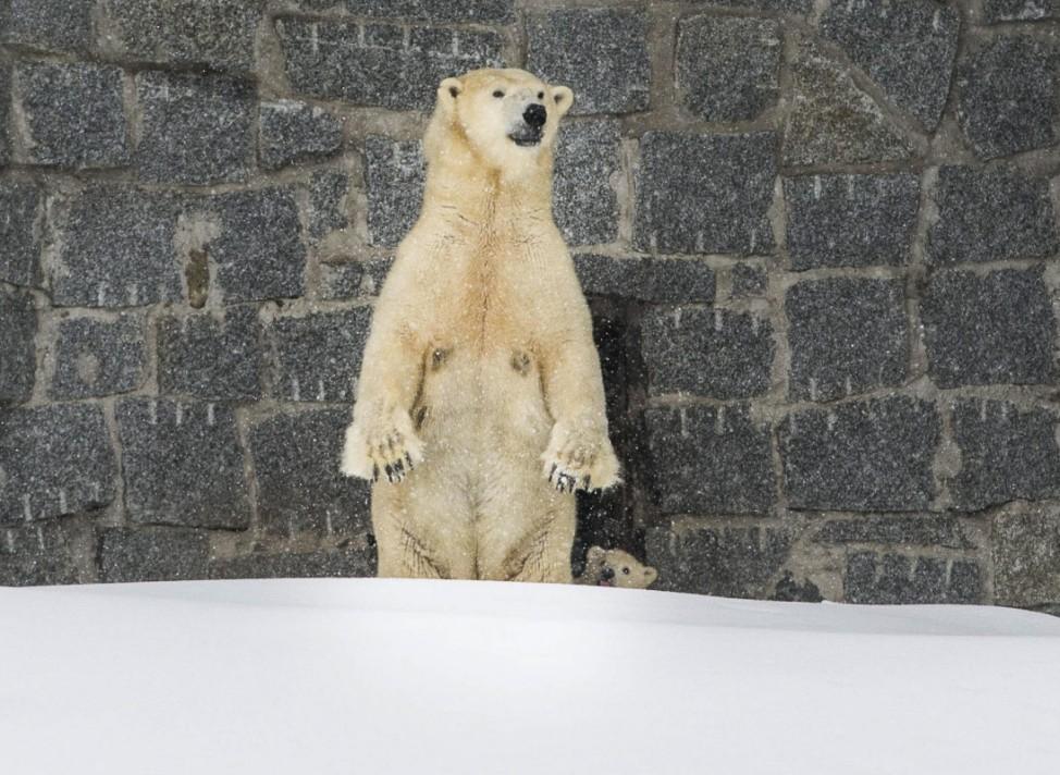 Eisbärbaby in Finnland
