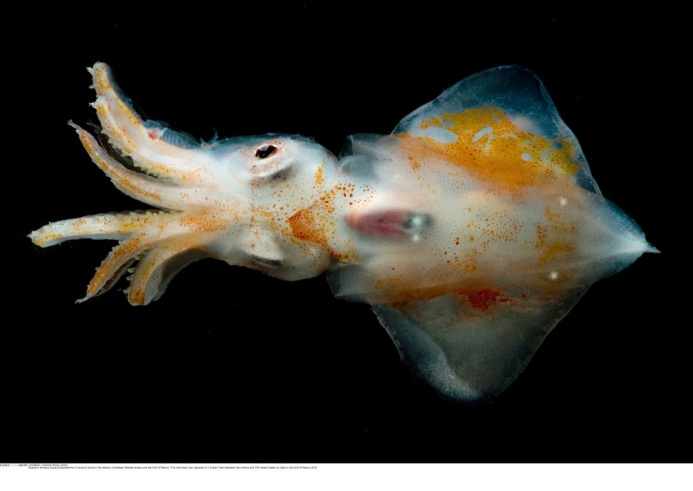 Ruppell's Octopus Squid