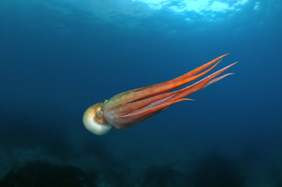Aug 10 2012 giant Pacific octopus or North Pacific giant octopus Enteroctopus dofleini Japan s
