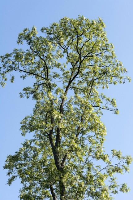 Robinia pseudoacacia Robinia pseudacacia Robinier faux acacia Black Locust PUBLICATIONxINxGERx