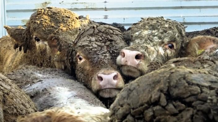 Tierschutz: Junge Bullen, völlig verdreckt: So sehen manche Tiere nach einem langen Schifftstransport aus.