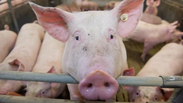 Schweinemast
