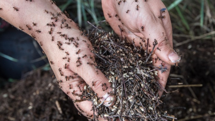 Ameisenhaufen ziehen um