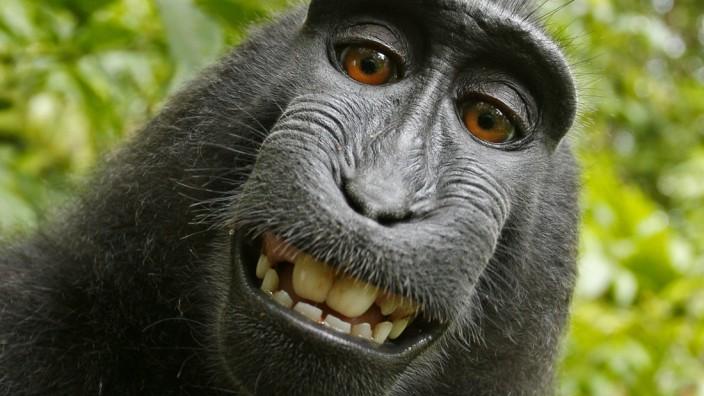 Rechtsstreit um Affen-Selfie: Tausendfach veröffentlicht, selten bezahlt: Das freundliche Selfie eines indonesischen Schopfmakaken.
