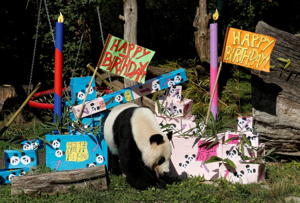 Giant Panda Yang Yang approaches parcels containing food on its twin cubs' first birthday at Schoenbrunn Zoo in Vienna