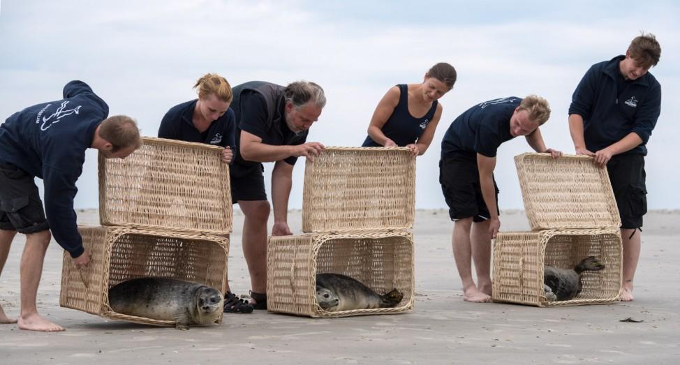 Auswilderung Seehunde