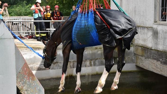 Pferd im Isarkanal